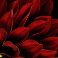 Red Dahlia Close up Fine-Art Print