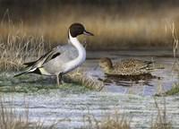 Pintail Ducks Fine-Art Print