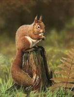 Red Squirrel Fine-Art Print
