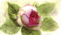 Eden Rose Open Bud Fine-Art Print