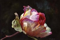Open Pink Rose Bud Fine-Art Print