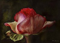 Red Rose Bud Fine-Art Print