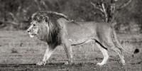 Lion Walking in African Savannah Fine-Art Print