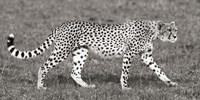 Cheetah Hunting, Masai Mara Fine-Art Print