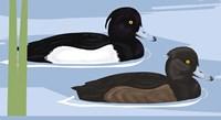 Tufted Duck Id Fine-Art Print