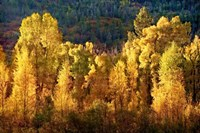 Aspens in Autumn I Fine-Art Print