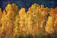 Aspens in Autumn III Fine-Art Print
