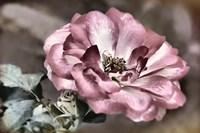 A Rosy Disposition I Fine-Art Print