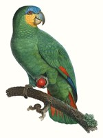 Parrot of the Tropics I Fine-Art Print