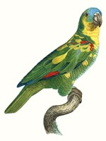 Parrot of the Tropics II Fine-Art Print
