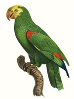 Parrot of the Tropics III Fine-Art Print