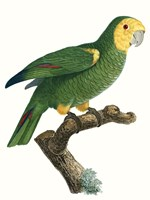 Parrot of the Tropics IV Fine-Art Print