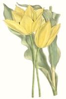 Curtis Tulips II Fine-Art Print
