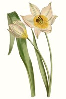 Curtis Tulips III Fine-Art Print