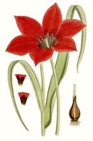 Curtis Tulips IV Fine-Art Print