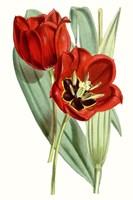 Curtis Tulips V Fine-Art Print