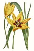 Curtis Tulips VI Fine-Art Print