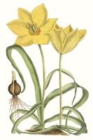 Curtis Tulips VIII Fine-Art Print
