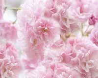Cherry Blossom Study IV Fine-Art Print