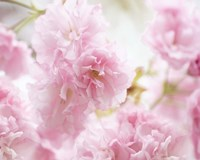 Cherry Blossom Study V Fine-Art Print