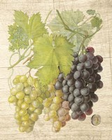 Grapevine I Fine-Art Print