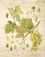 Grapevine II Fine-Art Print