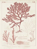 Antique Coral Seaweed II Fine-Art Print