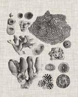 Coral Specimen II Framed Print