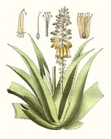 Antique Aloe II Fine-Art Print