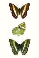 Butterfly Specimen III Fine-Art Print