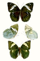 Butterfly Specimen IV Fine-Art Print