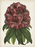Rhododendron Study I Fine-Art Print