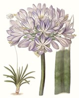 Lavender Beauties VI Fine-Art Print