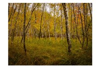 Birch Woods 1 Fine-Art Print