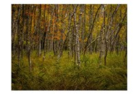 Birch Woods 2 Fine-Art Print