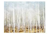 Birch In The Woods Fine-Art Print