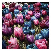 Colorful Tulips Fine-Art Print