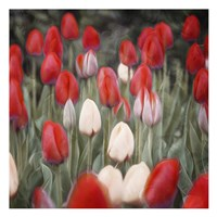 Red Flowers in a Group Fine-Art Print