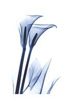 Calla Lily Indigo Fine-Art Print