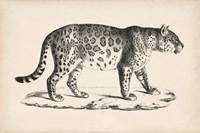 Male Leopard Fine-Art Print