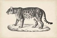 Female Leopard Fine-Art Print
