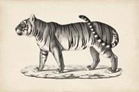 Male Tiger Fine-Art Print