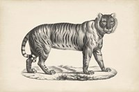 Female Tiger Fine-Art Print