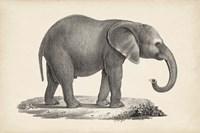 Young Elephant Fine-Art Print