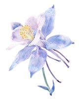 Columbine Bloom II Fine-Art Print