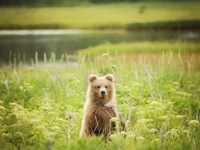 Bear Life VII Fine-Art Print