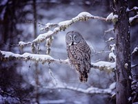 Owl in the Snow II Fine-Art Print