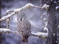 Owl in the Snow III Fine-Art Print