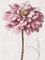 Pink Zinnia II Fine-Art Print