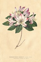 Rhododendron Vintage Fine-Art Print